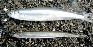 Letter of Clarification For Forage Fish Article